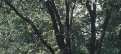 Indian Kino Tree